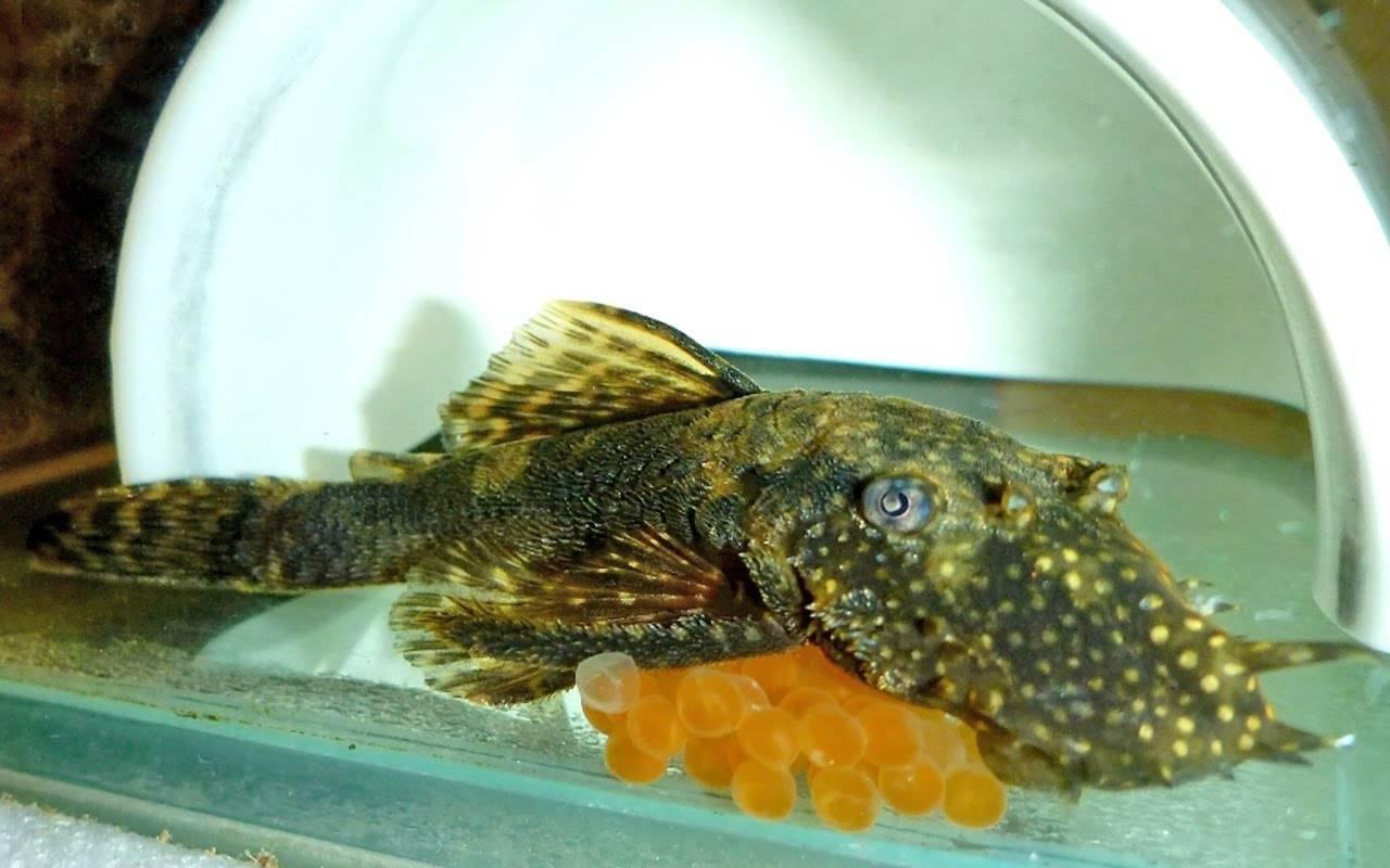 Парчовый птеригоплихт - особенности ухода и содержания, совместимость с другими рыбами и прочие особенности + фото