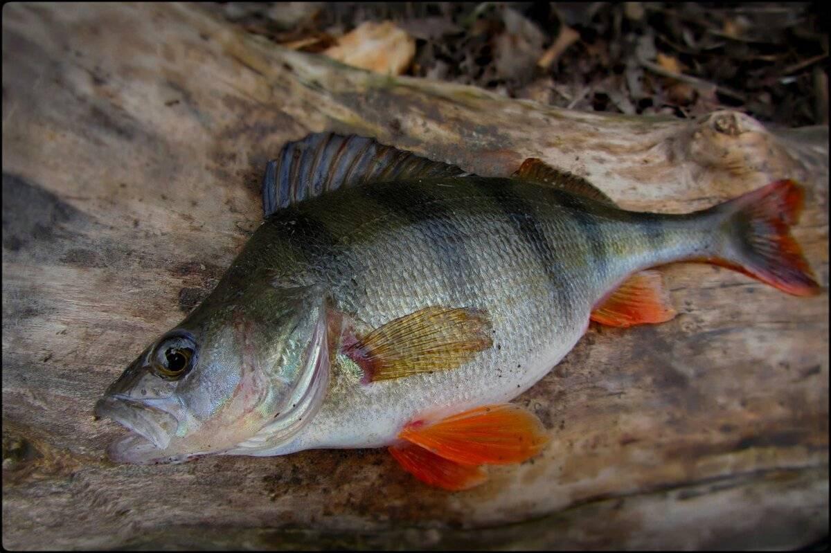 Самый большой окунь нильский – описание, особенности поведения, места обитания, рыбалка