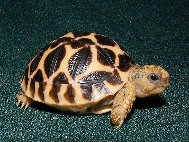 Как выбрать черепаху для дома? какую лучше черепаху выбрать? практические рекомендации1 min read. виды черепах: описание с фото черепашка в доме плюсы и минусы