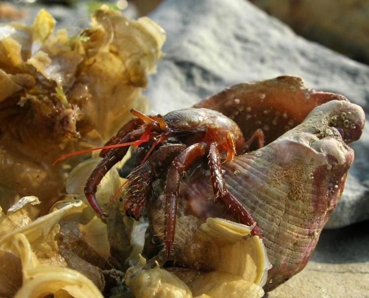 Рак-отшельник в домашнем аквариуме: правильный уход за обитателем водных просторов