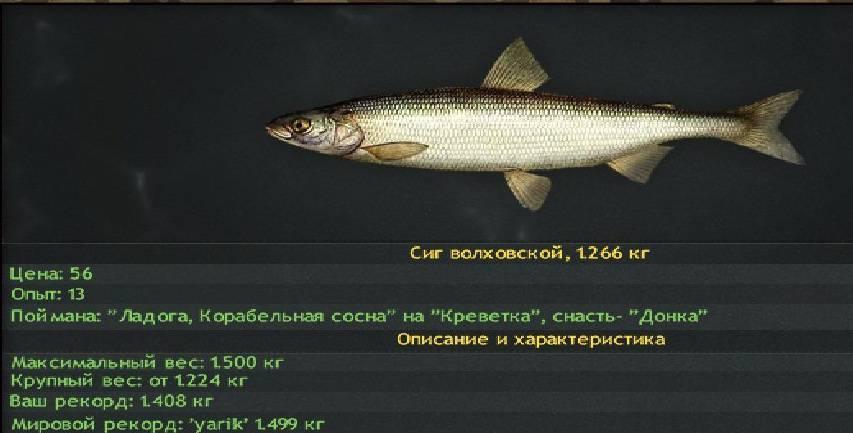 Сиг: как и где ловить, особенности, повадки, редкие виды