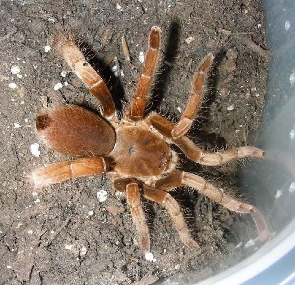 Виды домашних пауков, их полное описание и требования к содержанию