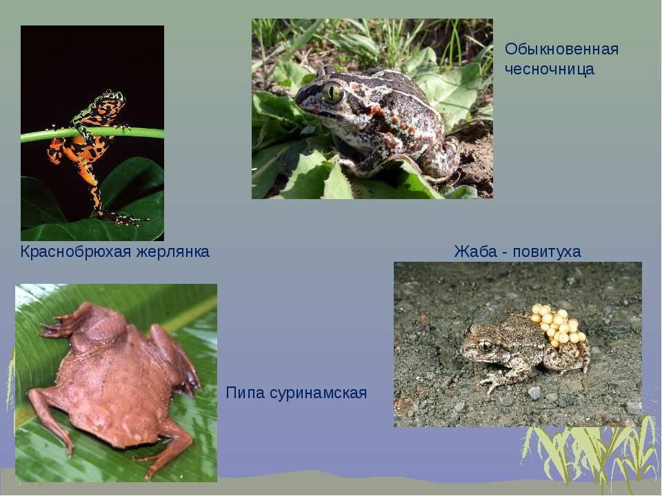 Содержание шпорцевой лягушки (xenopus laevis)