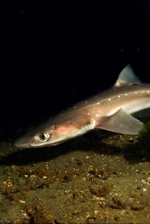 Акула катран: фото, ареал обитания, питание и размножение