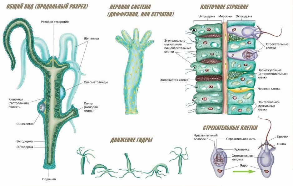 Что такое гидра? пресноводная гидра: строение, размножение