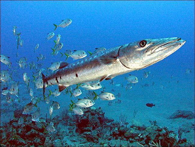 Опасные хищные рыбы: мурена и барракуда. описание, фото и видео