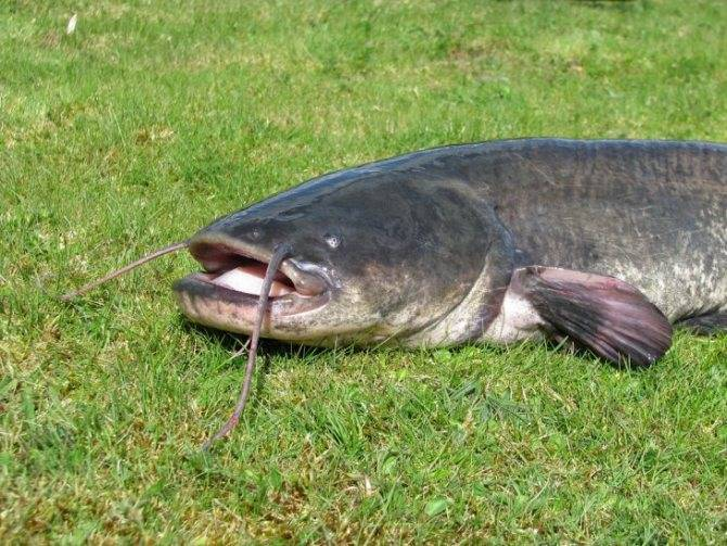 Рыба сом: характеристики, условия обитания, образ жизни, рыбалка и выращивание