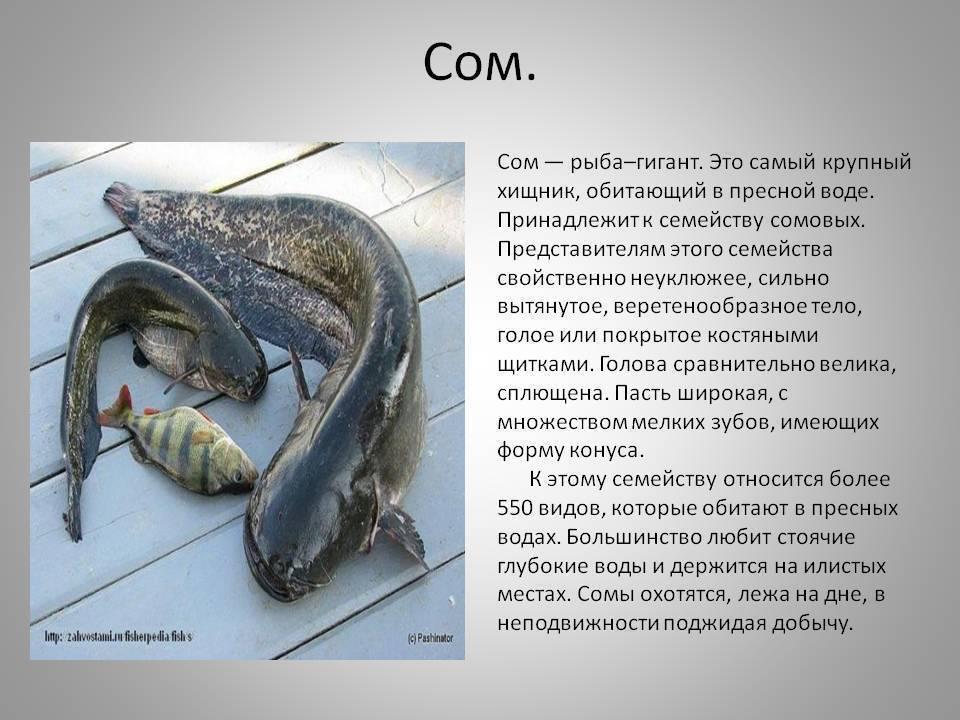 Сом - 70 фото вкусных и огромных повелителей речных глубин