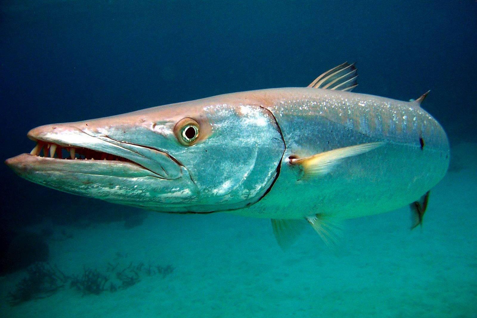 Барракуда. барракуда рыба (морская щука) фото, описание, размножение