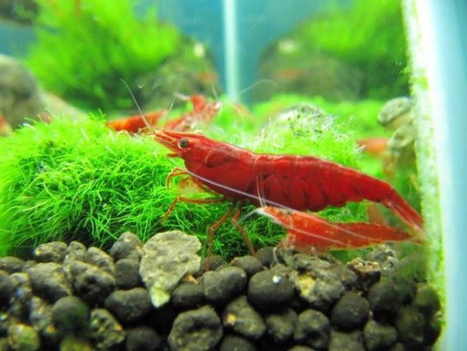 Аквариумные креветки: содержание и уход, виды и разведение, совместимость с рыбками, сколько живут