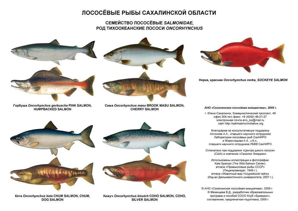 Лососевые рыбы названия, характерные особенности видов, среда обитания, промысел