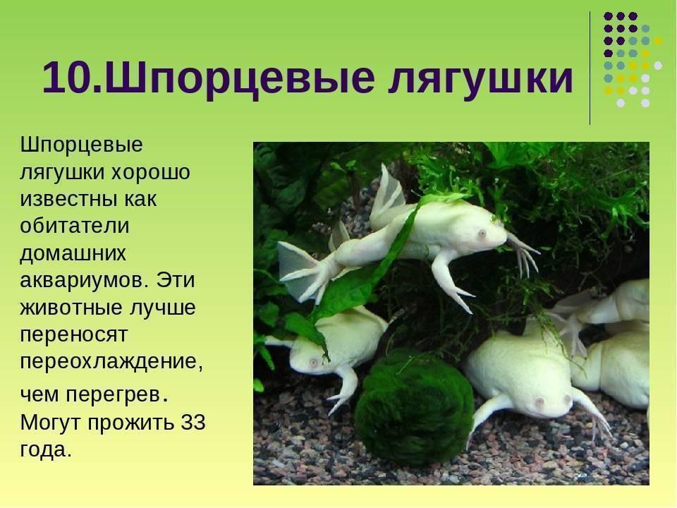 Лягушка шпорцевая, альбинос Gevelinka  17.04.13, 14:53