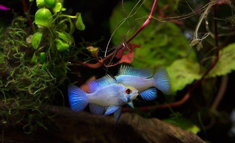 Апистограмма рамирези: содержание, болезни и разведение в аквариуме