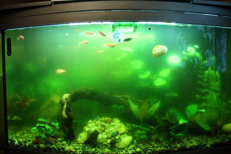 Белая вода в аквариуме: что может быть причиной того, что белеет водная среда в емкости с рыбками, что делать, если побелела?