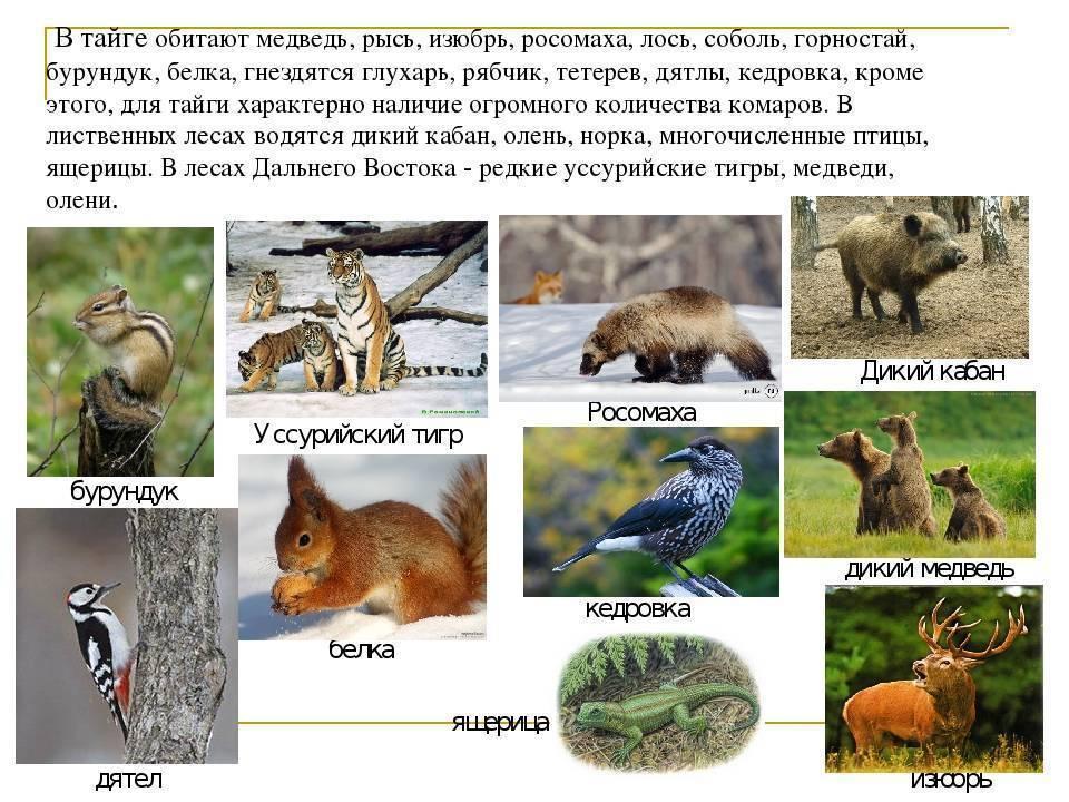 Животные тайги в россии – список с фото и названиями | животные мир зоны тайги