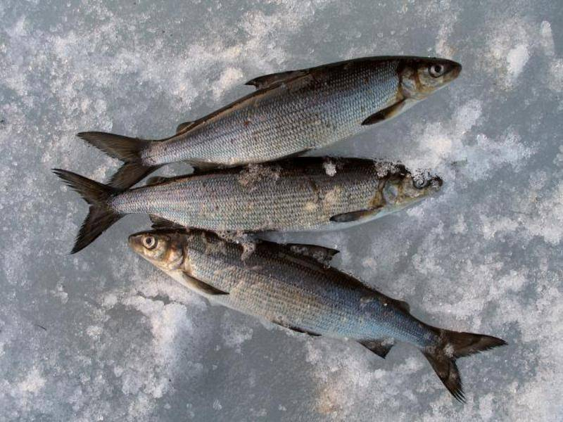 Названия и фото лососевых рыб