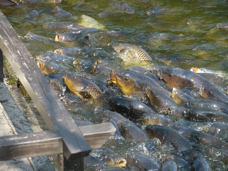 Окунь речной: как выглядит, чем питается и когда нерестится окунь горбач