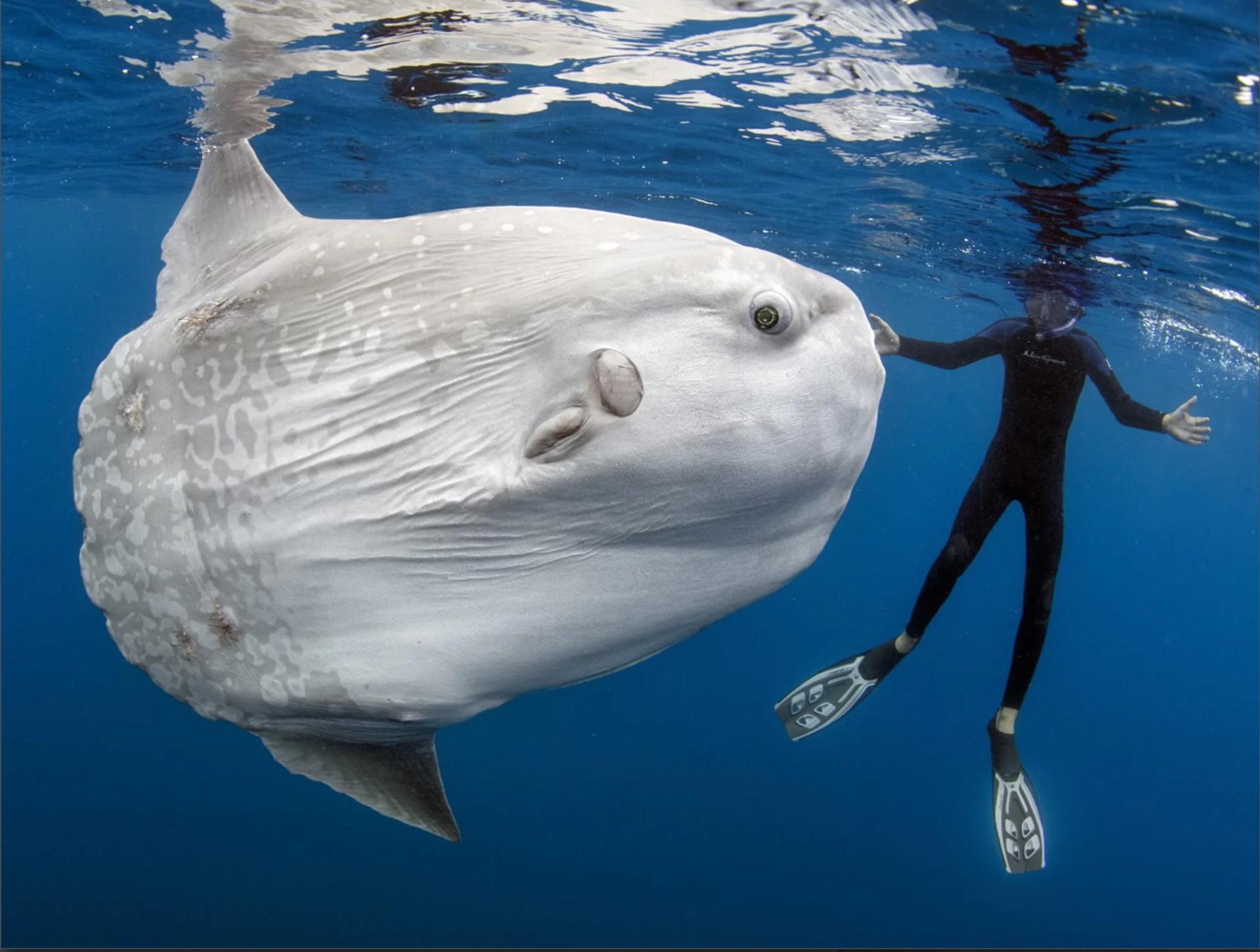 Обыкновенная луна-рыба — википедия. что такое обыкновенная луна-рыба