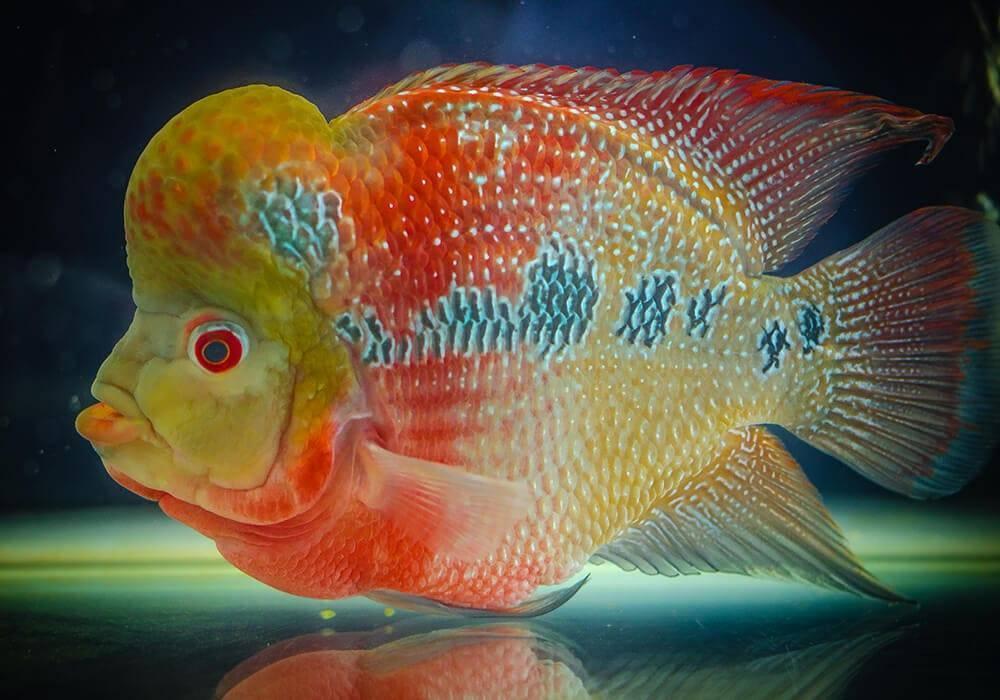 Флауэр хорн: [фото, описание, уход и содержание в аквариуме]