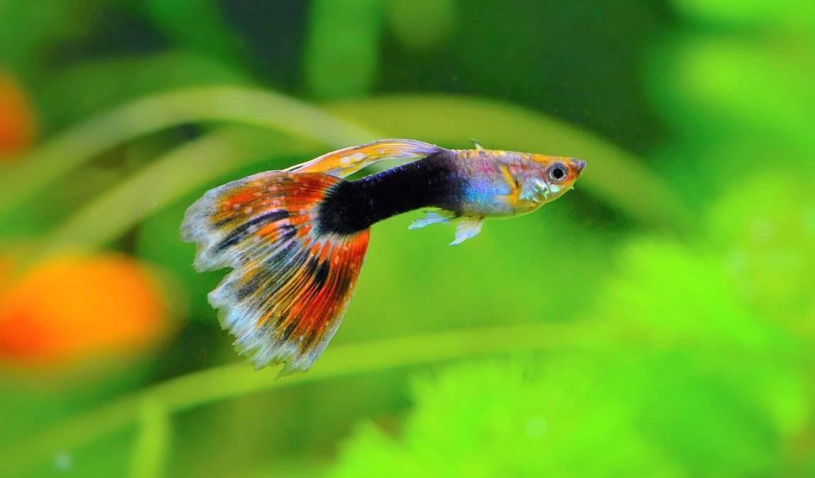 Гуппи — самые знаменитые обитатели аквариума.