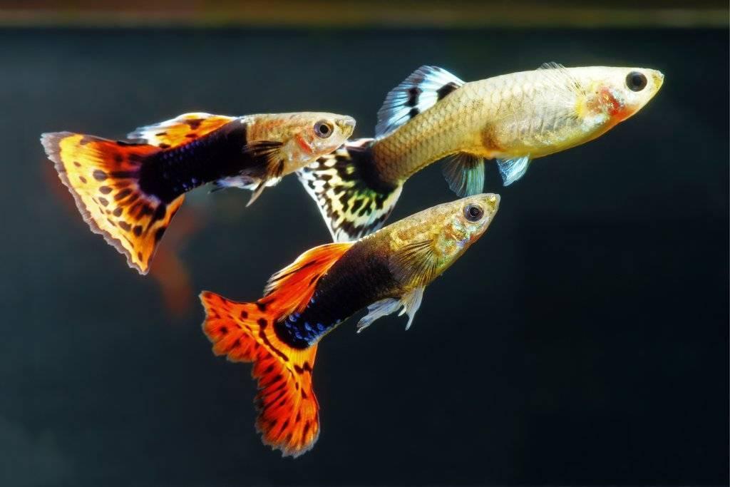 Мальки гуппи: сколько и как растут, чем кормить в первые дни в домашних условиях, количество, выращивание в отдельном, общем аквариуме и отсаднике