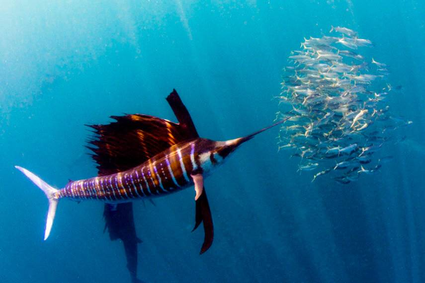 Самые быстрые рыбы океана
