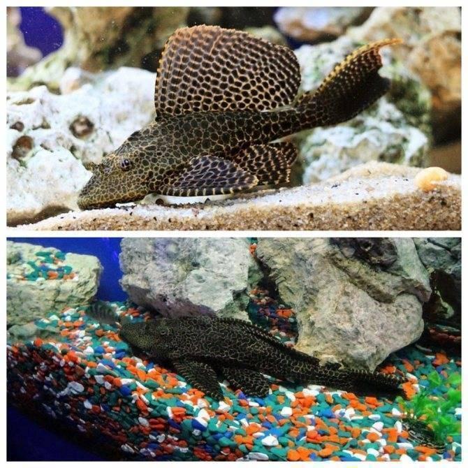 Парчовый сом птеригоплихт: описание с фото, содержание и кормление, совместимость с другими рыбами