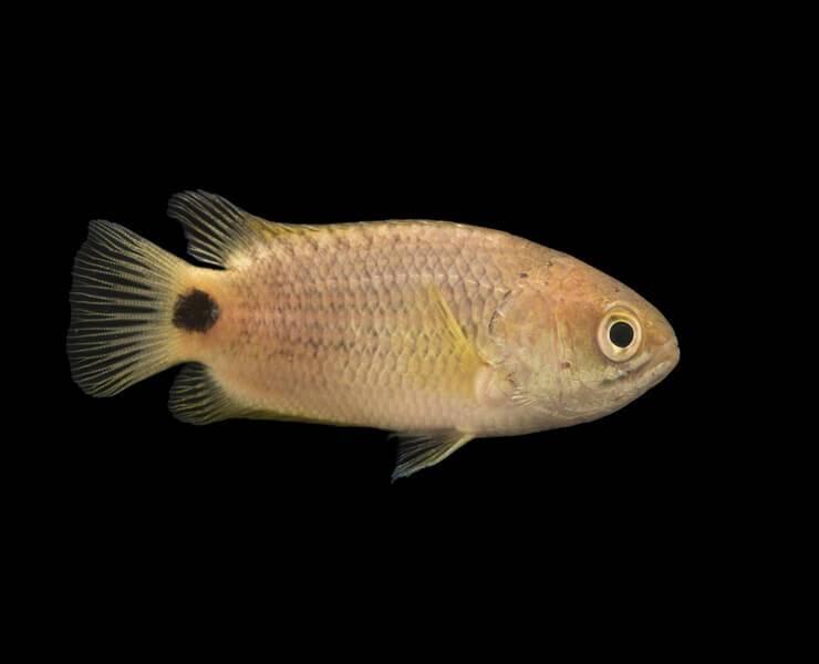 Анабас, или рыба-ползун: внешние характеристики, особенности содержания в домашних условиях