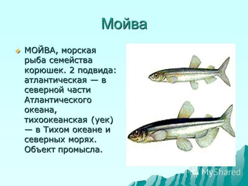 Полезные и лечебные свойства рыбы мойвы: выбор и правила хранения