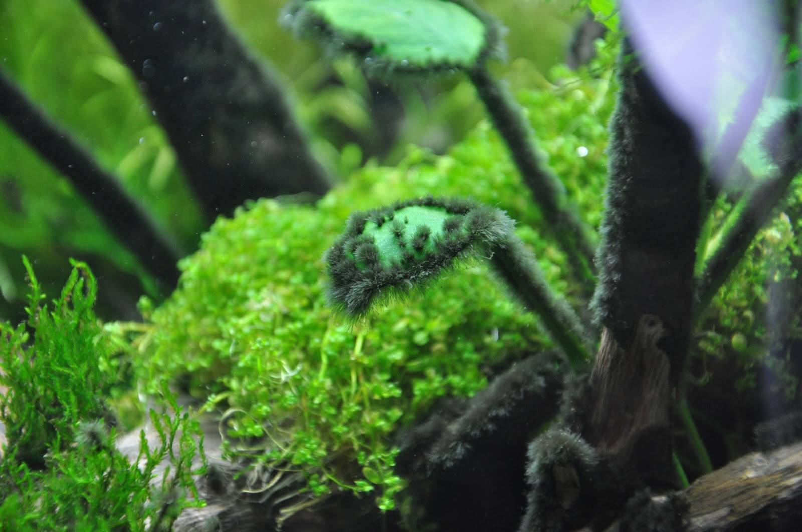 Черная борода в аквариуме: как избавиться и причины появления