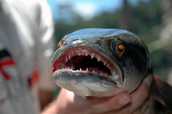 Рыба змееголов: фото, описание, виды, содержание в аквариуме
