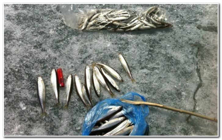 Корюшка зимой – особенности поведения, тактика ловли и выбор снастей . | рыбалка и снасти | яндекс дзен