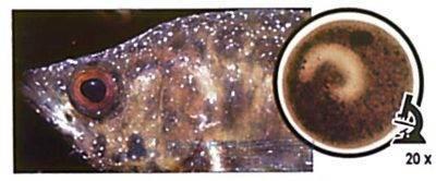 Болезни аквариумных рыб - первые симптомы, профилактика и лечение (видео + 75 фото)