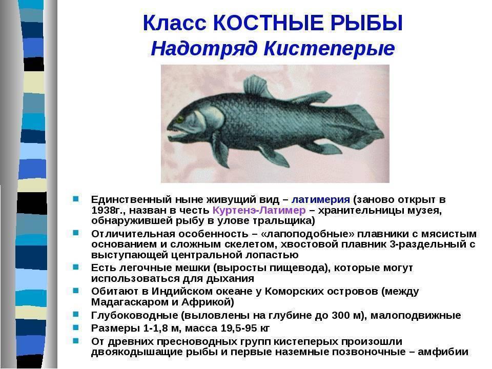 Где обитает латимерия – древняя кистеперая рыба. латимерия — живое «ископаемое»