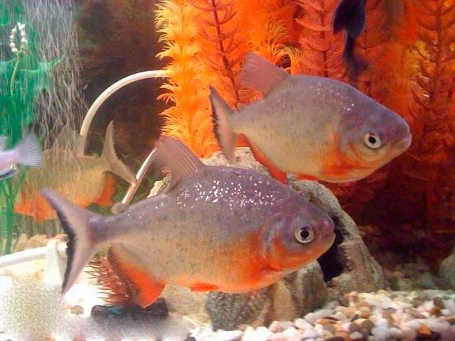 Рыба паку: растительноядные родственники пираний