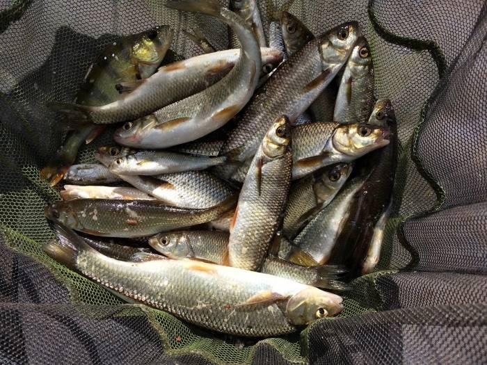 Рыба щекур: описание, жизненный цикл и питание, особенности ловли