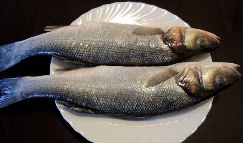 Сибас жирная или нет. сибас – о калорийности, пользе и вреде рыбы, где водится. польза рыбы сибас