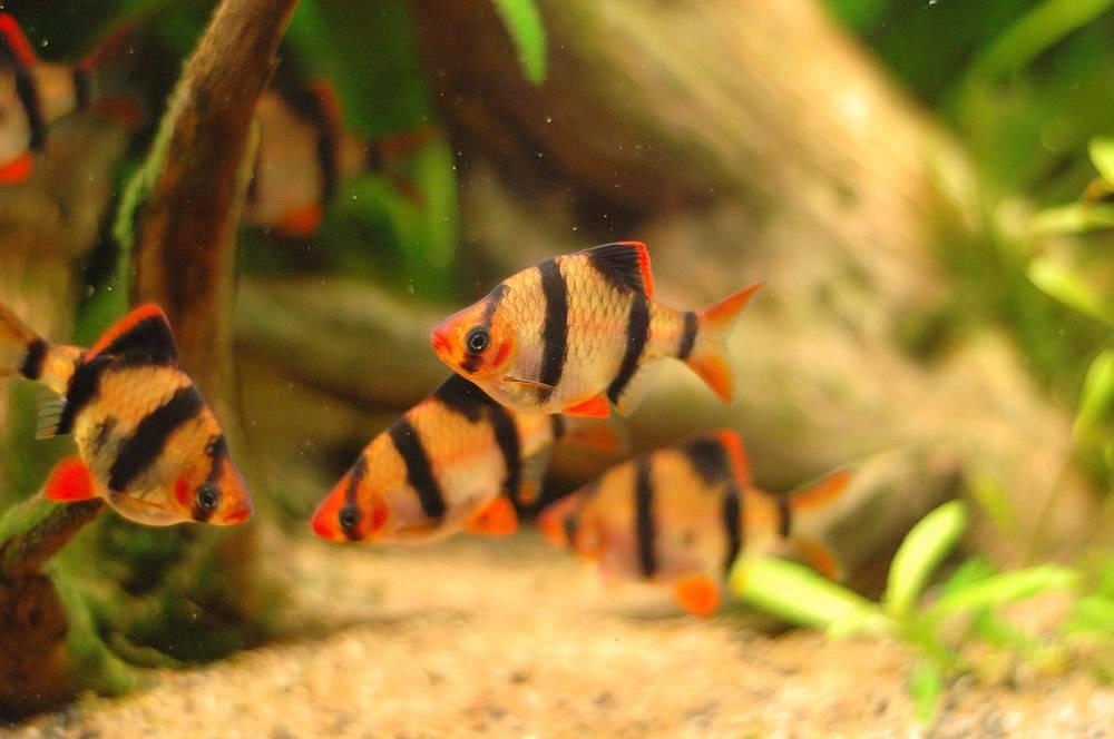 Полосатые рыбки барбусы суматранские