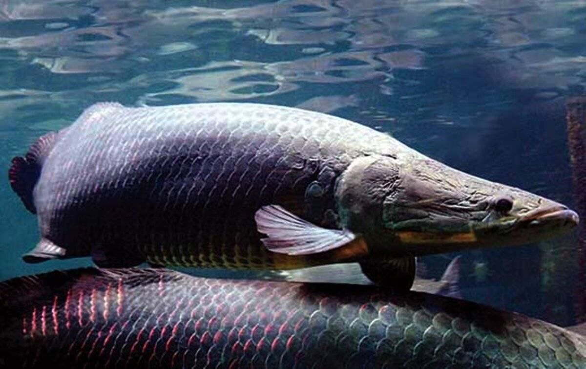 Арапайма гигас: места обитания и повадки гигантской рыбы пираруку