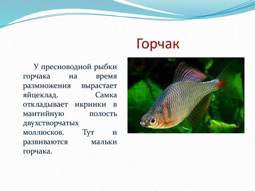 Рыба горчак в аквариуме — содержание и разведение.