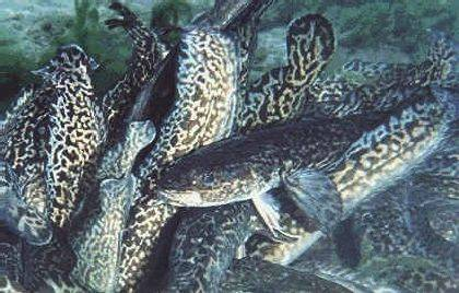 Ловля налима: снасти для рыбалки (оснастка). когда он начинает клевать? клев на «стукалку» весной и летом. в какое время рыбачить на крупного налима?