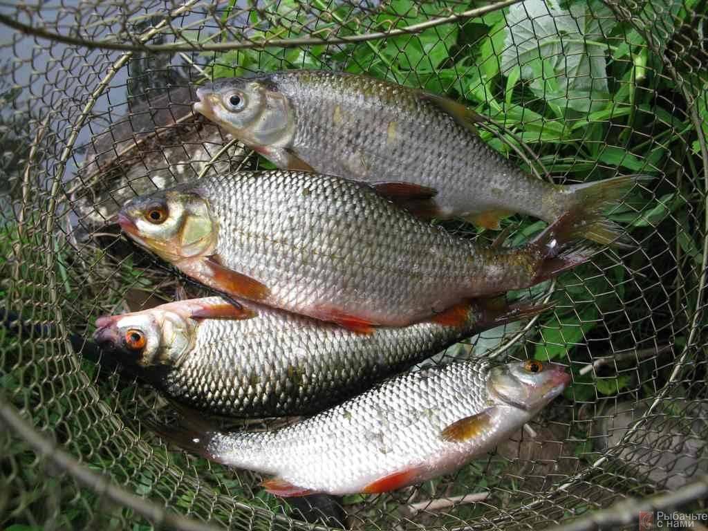 Ловля плотвы весной — снасти, насадки и прикормка