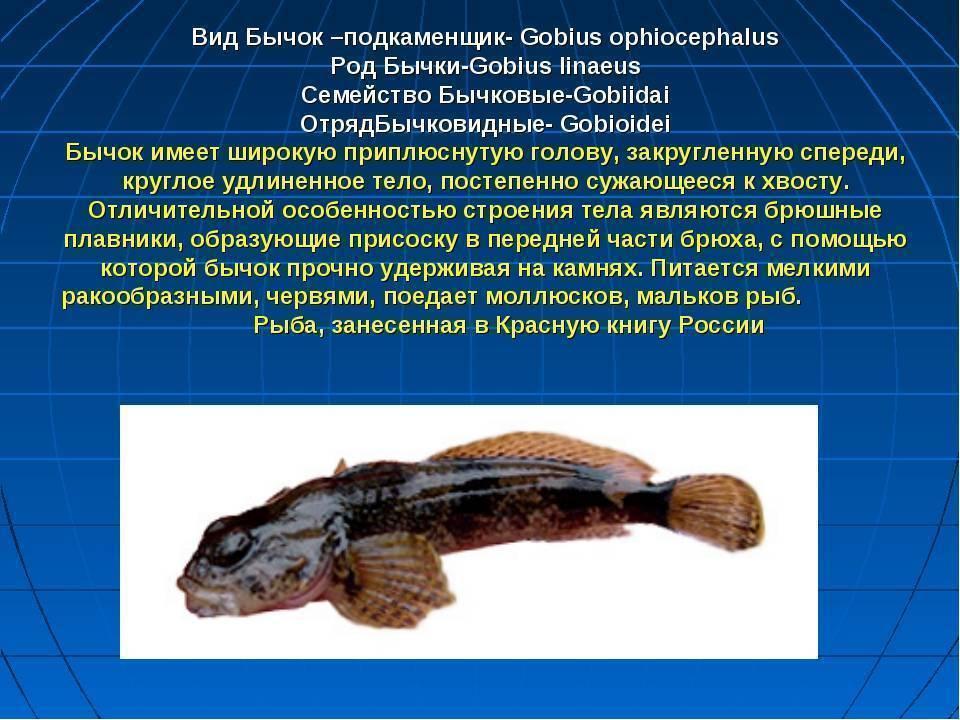 Подкаменщик обыкновенный — значение рыбы