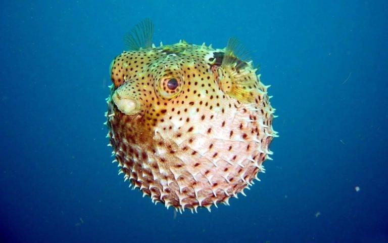 Шар-рыба, которая надувается — фото и описание