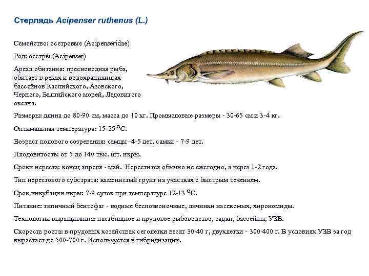 Белугу можно считать самой крупной пресноводной рыбой земли