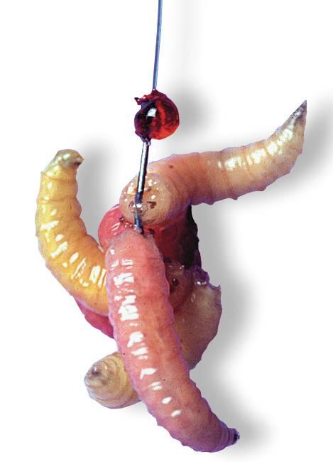 Учимся насаживать червя в зависимости от породы рыбы, вида червей