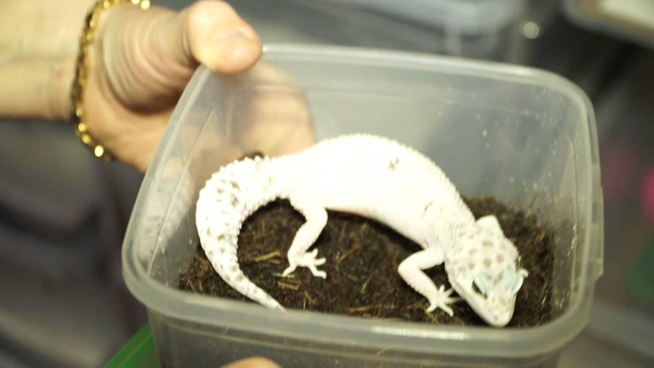 Сколько живет прыткая ящерица в домашних условиях. как ввести питомца в спячку и вывести из нее