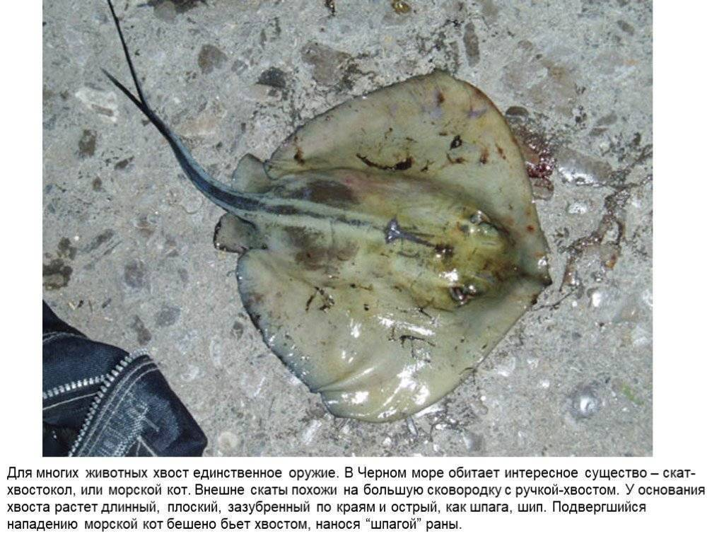 Cкаты черного моря