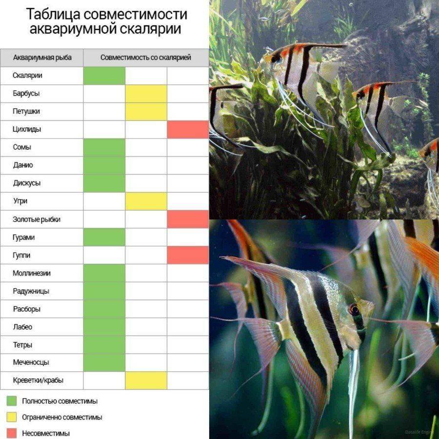 Гуппи совместимость с другими рыбами: таблица с кем держать (уживаются) - меченосцы, неоны, барбусы, петушок, моллинезии