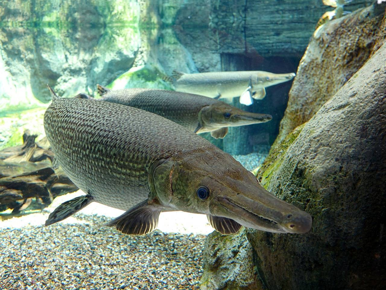 Рыба-аллигатор, или миссисипский панцирник
